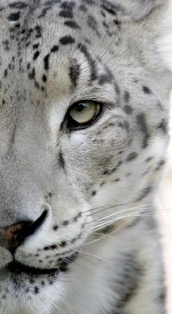~~Snow Leopard by Parasaran Raman ~ snow leopards can leap farther than any other cat!~~: Animals, Big Cats, Snow Leopards, Bigcats, Wild Cats, Eye