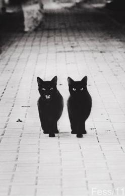 So much Allesandro & Lucia, as kittens =twin stalkers; could only tell who=who by Lucia's mouthy aaakk commentary. Love my kittens forever.: Twin, Kitty Cat, Animals, Meow, Black Cats, Things, Blackcats, Friend