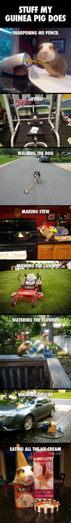 Stuff My Guinea Pig Does; 'Cause everyone has a Guinea pig that does cool stuff like this! Thank you @Sherri Levek Large King !!: Guineapigs, Animals, Stuff Guinea, Pet, Humor, So Funny, Guinea Pigs