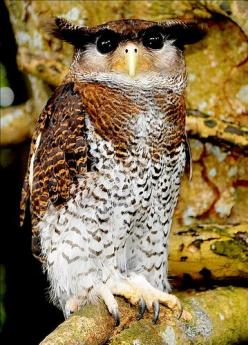The Barred Eagle-Owl (Bubo sumatranus), also called the Malay Eagle Owl, is a species of owl in the Strigidae family. It is found in Brunei, Cocos (Keeling) Islands, Indonesia, Malaysia, Myanmar, Singapore, and Thailand. Its natural habitat is subtropical