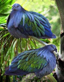 The Nicobar Pigeon (Caloenas nicobarica) is a pigeon found on small islands and in coastal regions from the Nicobar Islands, east through the Malay Archipelago, to the Solomons and Palau.: Animals, Nature, Blue, Beautiful Birds, Photo, Nicobar Island, Nic
