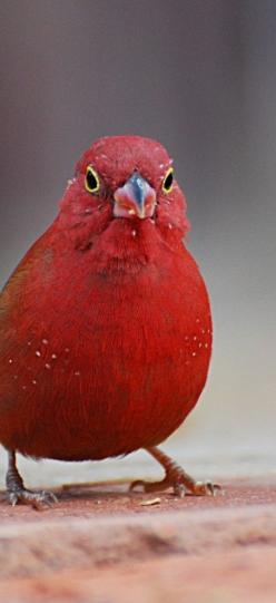 The Red-Billed Firefinch is aptly named.   They hang around together in small flocks of active individual all hopping and fluttering about so that the brightly coloured male really does look like a flame in the fire.  I first saw these little chaps up in