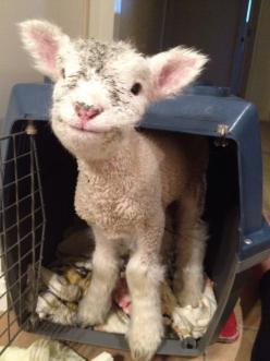 This baby makes me Happy!: Face, Animals, Goat, Happy, Pets, Sheep, Baby, Lamb, Smile