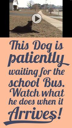 This dog is patiently waiting for the school bus... Watch what he does when it arrives!!: Dogs Funny Videos, Animals Dogs, Watch, Dogs Pets, 3D Animal, School Buses, Dog Videos, Animal Face, Cute Dogs