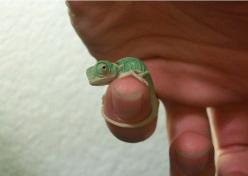 Tiny baby chameleon...: Babies, Tiny Chameleon, Chameleons, Pet, Things, Baby Animals, Reptile
