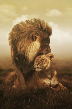TOP 10 Emotional photos of animals. Jesus as a loving king . The Loin of Judah.: Animals, Big Cats, Queen, Bigcats, Leo, Lion Love, Lion Couple, Lions, Wild Cats