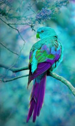 Turquoise and Purple ~ Australian Parrot: Australian Parrot, Purple Bird, Peacock Bird, Beautiful Color, Peacock Colour, Beautiful Birds, Animal