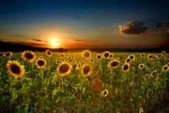 Tuscany: Picture, Sunflowers Sunset, Sunflowers 3, Favorite Places, Tuscany Sunflowers, Beautiful Sunflowers, Photography, Heart Sunflowers