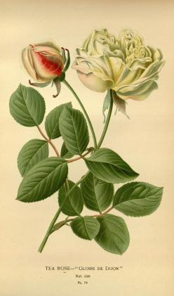 v. 1 - Favourite flowers of garden and greenhouse / - Biodiversity Heritage Library: Favourite Flowers, Botanical Illustration, Botanical Flowers, Greenhouse, Tea Roses, Botanical Art, Photo, Garden