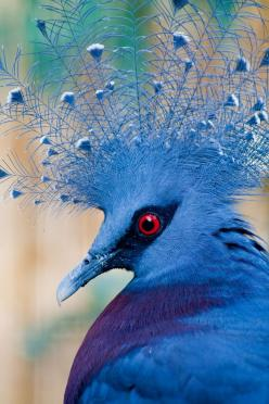 Victoria Crowned Pigeon: Animals, Color, Beautiful Birds, Peacock