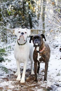 "* * WHITE DOG: "" I can'ts help dat I am in love wif dat snowman."" OTHER DOG: "" Well dat's just stupid. Wut are ya gonna do when it melts? I'm going decorate it wif some yellow snow."": Winter Pupscosas, Boxer Photography, Boxer"