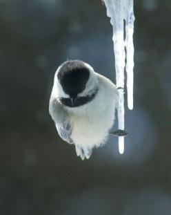Winter bird..chilly!: Animals, Winter, Nature, Cold Feet, Beautiful Birds, Chickadee, Photo