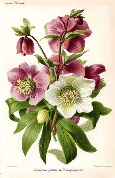 1883 Hellebore Purple White Antique   Botanical Print French  Garden Lithograph Vintage Flower Home Decor: 1883 Hellebore, Botanical Prints, Antique Botanical, Hellebore Purple, Home Decor, Garden Lithograph, Vintage Flowers, French Garden