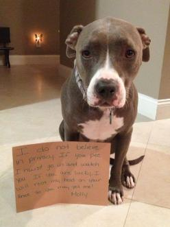 """""""I do not believe in privacy. If you pee I must go and watch you. If you are lucky, I will rest my head on your knee so you may pet me…Molly"""" ~ Dog Shaming shame - Pit Bull - Miss You!: Watch, Pets, So True, Pibble, Animal, Pittie"""