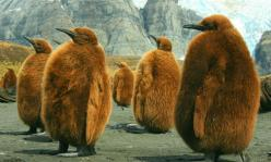 'The Wait - King Penguin chicks wait for their parents to return from sea' by photographer Amanda Stadther. via Smithsonian Magazine: Photos, Animals, South Georgia, Penguins, Birds, Amanda Stadther