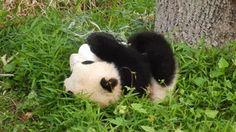 A classy panda living her best life. | 25 Animal GIFs That Will Warm Your Cold, Dead Heart