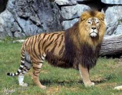 "A Liger! The awesome hybrid cross between a female tiger and a male lion. They are the largest of all the jungle cats, ""growing to almost the lion and tigers combined size."" Interestingly, ""in history there have been stories of ligers found in"