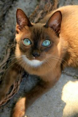 amazing cat - what a beauty... This is a gorgeous kitty. I wonder what kind he/she is. I've never seen one with those markings in person.: Kitten, Kitty Cat, Animals, Beautiful Cats, Pet, Pretty Cat, Beautiful Eyes, Kitty Kitty, Blue Eyes
