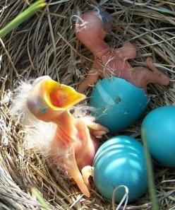 Amazing shot of backyard newborns in robin's nest.: Babies, Animals, Backyard Newborns, Beautiful Birds, Baby Birds