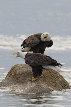 American Bald Eagles.  I have to say they look like school girls wearing pants under their dresses on a cold day.: Photos, Google, American Eagle, Birds Eagles, Photographer, Aguilas Eagles, Bird S Eagles, Animals Birds, Bald Eagles