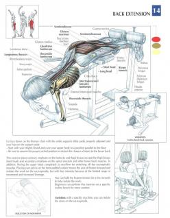 Back Extensions ~ Repinned by Crossed Irons Fitness: Leg, Health Fitness, Gym Bodybuilding, Fitness Exercises, Fitness Anatomy, Workout Fitness, Workout Anatomy, Fitness Workout, Extensions