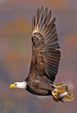 Bald Eagle in flight. We have had eagles drop salmon on our porch in the past as the they fly to the trees from the Russian River to eat their  catch.: American Bald, Flight, Animals, Raptor, Beautiful Birds, Bald Eagles, Photo