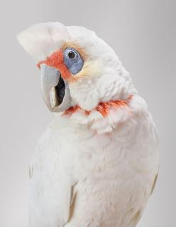 Bare-eyed cockatoo: Long Billed Corella, Animals, Bob, Art, Birds, Photography, Wild Cockatoos