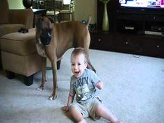 Boxer playing with baby