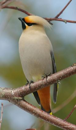 Cedar Waxwing visit my no fruit bear crabapple trees every spring. Can't wait for the flock to arrive!: Animal Beauty, Beautiful Wings, Beautiful Birds, Animals Birds, Photo