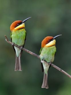 Chestnut-headed Bee-Eaters (India/Southeast Asia). As the name suggests, they predominantly eat insects, especially bees, wasps and hornets, which are caught in the air by sorties from an open perch.: Fairy Wrens, Nature, Beautiful Birds, Hummingbirds, An