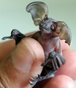Cruella the long eared bat. This is a picture of a 1 week old baby, brown long-eared bat, in the hand of a wildlife rescuer. It had to go thru rehabilitation, because her mother dropped her.: Baby Gremlin, Animals, Gremlins, Flight Nursed, Gremlin Bat, Ba