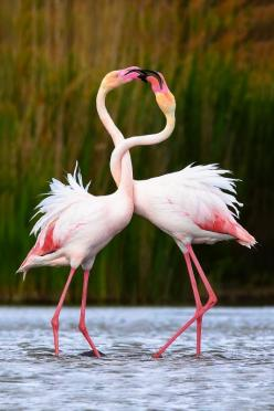 earthlynation:  Romance by Lumir Koutnik: Animals, Pink Flamingos, Nature, Creature, Things, Beautiful Birds, Photo