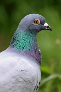 """Feral (rock) pigeon: """"The rock pigeon is the ancestor of all domesticated, homing and feral pigeons, and is native to Europe. Now found worldwide, it is arguably the most despised bird on the planet."""" Find out why: 100 Alien Invaders; www.bradtgui"""