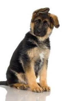 German Shepherds are one of my favourite breeds. Especially when their ears start to stand up and they're all floppy - adorable.: Animals, German Shepards, Dogs, Pets, Puppys, Shepard Puppy, German Shepherd Puppies, German Shepherds, Puppy Ears