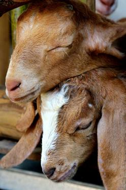 Goats! If I ever live in the country, I will have goats!! I love goats! They are so cute!!: Farm Animals, Sweet, Country Goats, Animals Goats, Animal Goats Pigs Sheep, Country Life, Countrylife, Happy Goat, Baby Goats