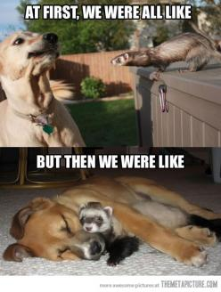 Google Image Result for http://themetapicture.com/media/funny-dog-ferret-friends.jpg: Funny Animals, Ferrets, Dogs, Friends, Pet, Funny Stuff, Humor, Funnies