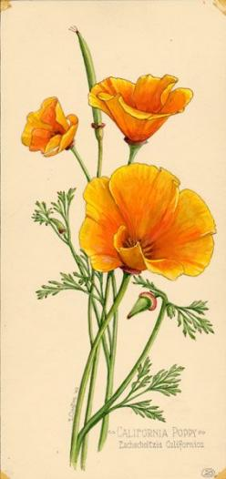 Google Image Result for http://www.californiacollectorsseries.com/public/2773/5291/20cp.jpg: California Poppies, Tattoo Ideas, Botanical Illustration, Ernest Clayton, Botanical Drawings, Google Search, Botanical Tattoo, Flower, California Poppy Tattoo