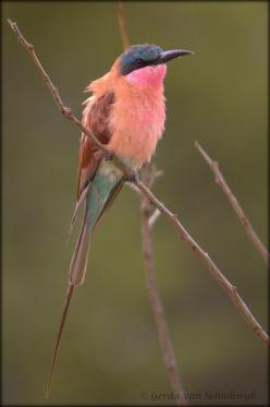 Gorgeous: Carmine Bee Eater, Bird S Color, Pretty Birds, Beautiful Birds, Pink Bird, Gorgeous Color