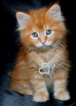 He broke my heart then had the audacity to give me this heart necklace. Guess this just isn't my day.: Kitty Cats, Animals, Orange Cat, Kitty Kitty, Kittens