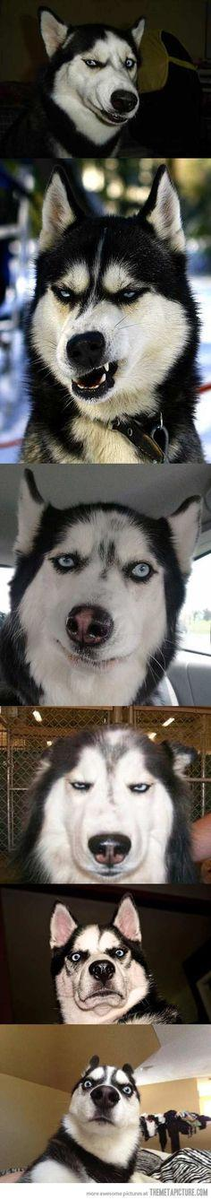 Huskies make the best faces…: Funny Animals, Giggle, Dogs, Husky Faces, Funny Faces, Funnies, Facial Expressions, Moon Moon
