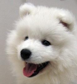 I don't want a dog as a pet but if I did... it would be a samoyed... or something else that looks like it should pull a dog sled.: Animals, Samoyed Puppies, Puppys, Samoyed Dogs, Box, Samoyeds