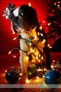 i want to do this with my dogs lol: Boston Christmas, Boston Terrier Christmas, Christmas Card, Dog, Animal