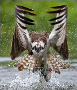 Impact - Osprey fishing | ©Miguel Lasa Ospreys, Pandion haliaetus (Pandionidae), have vision that is well adapted to detecting un...: Animals, Eagle, Nature, Fish, Owl, Beautiful Birds, Photo, Osprey