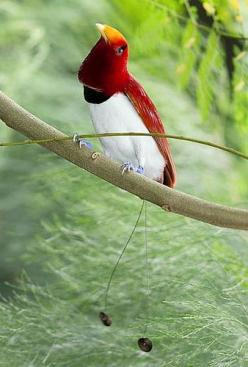 king bird of paradise. My all time favourite bird! Jehovah's amazingly beautiful creation!: Awesome Bird, Birdie, Bird Of Paradise, Beautiful Birds, Birds Of Paradise, Paradise Lifestyles, Animal