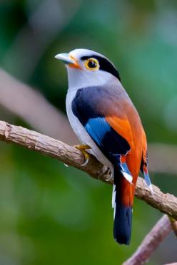 List of Pictures: Beautiful bird of paradise: Animals, Nature, Color, Birdie, Beautiful Birds, Silverbreasted, Silver Breasted Broadbill