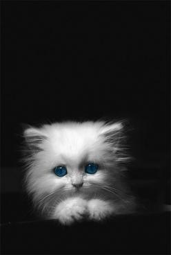 Love the sweet face of this kitten against the dark background. Why is this not my kitten!!: Cats, Animals, Sweet, Pets, Kitty Kitty, Adorable, Kitties, White Kittens, White Cat