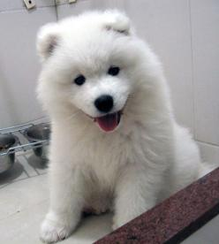 <3: Animals, Samoyed Puppies, Dogs, Pets, Puppys, Baby