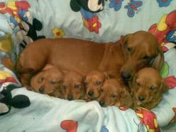 <3   ...........click here to find out more     http://googydog.com: Babies, Animals, Daschund, Pets, Doxies, Wiener Dogs, Baby Dachshund
