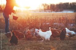 {<3} Feeding time by Melanie DeFazio #stocksy #realstock: Backyard Chickens, Animals, Farms, Country Living, Farm Countrylife, Chicken Photography, Farm Life Photography, Country Life, Things
