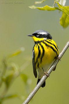 Magnolia Warbler - Magnificent design and color!  Who is that masked bird?: Magnolias, Birdie, Beautiful Birds, Photo, Animal